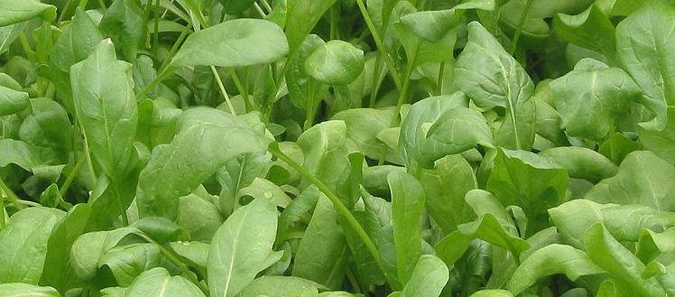 Kedy sadiť špenát